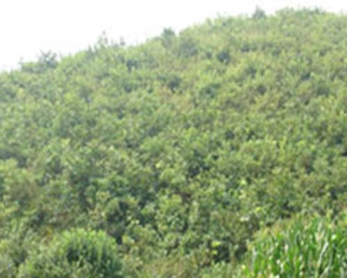 优质榛子种植园培育基地