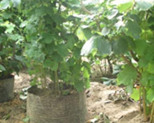 榛子直立压条繁殖