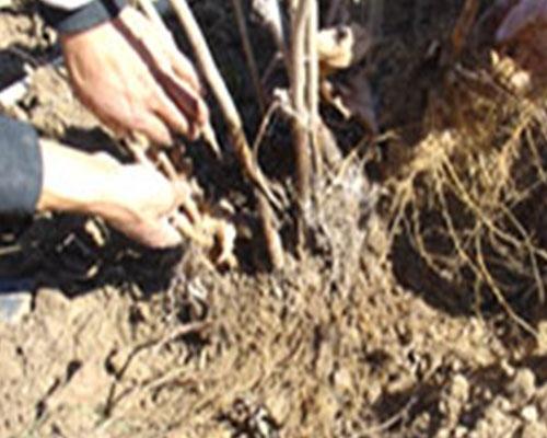 榛子直立压条秋季起苗