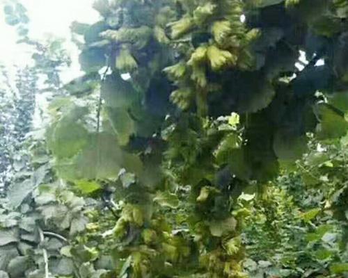 辽宁榛子树