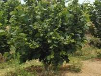 五年生榛子树