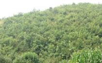 杂交榛子苗,山地榛园