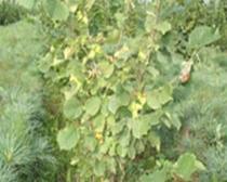 榛子二年生树结果状