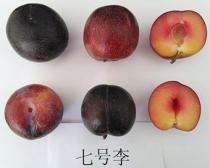 辽宁国峰7号李子