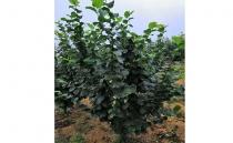 榛子五年生树